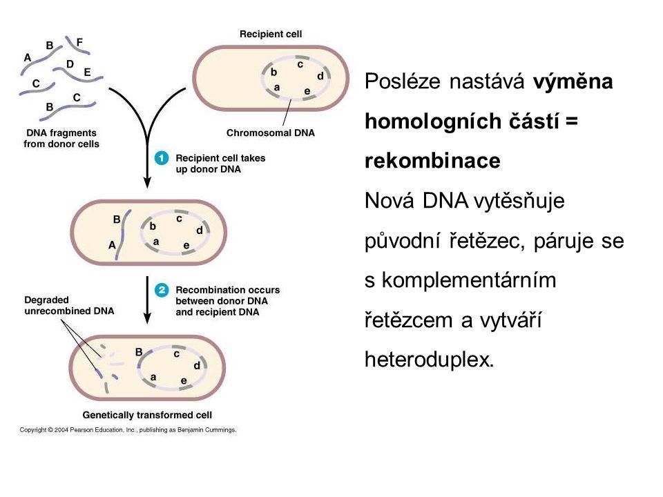 Posléze nastává výměna homologních částí = rekombinace