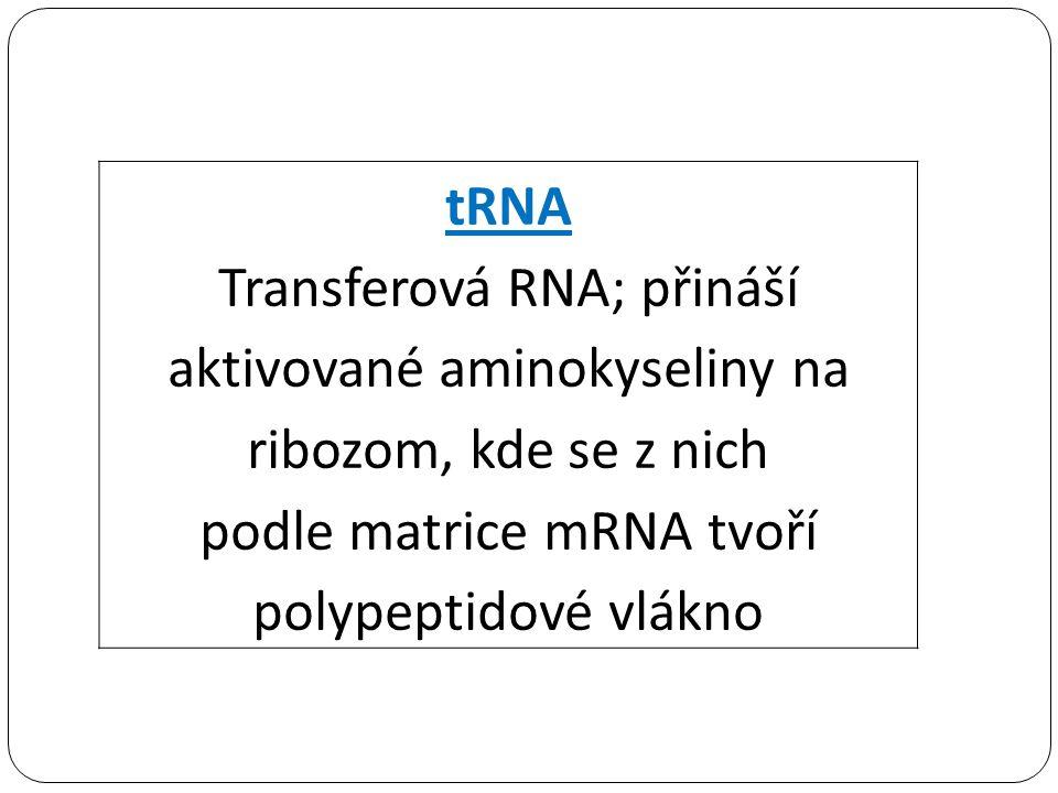 podle matrice mRNA tvoří polypeptidové vlákno