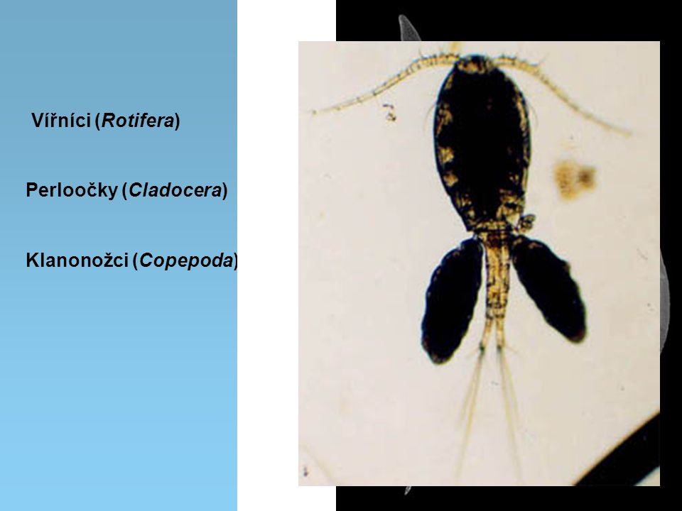 Vířníci (Rotifera) Perloočky (Cladocera) Klanonožci (Copepoda)