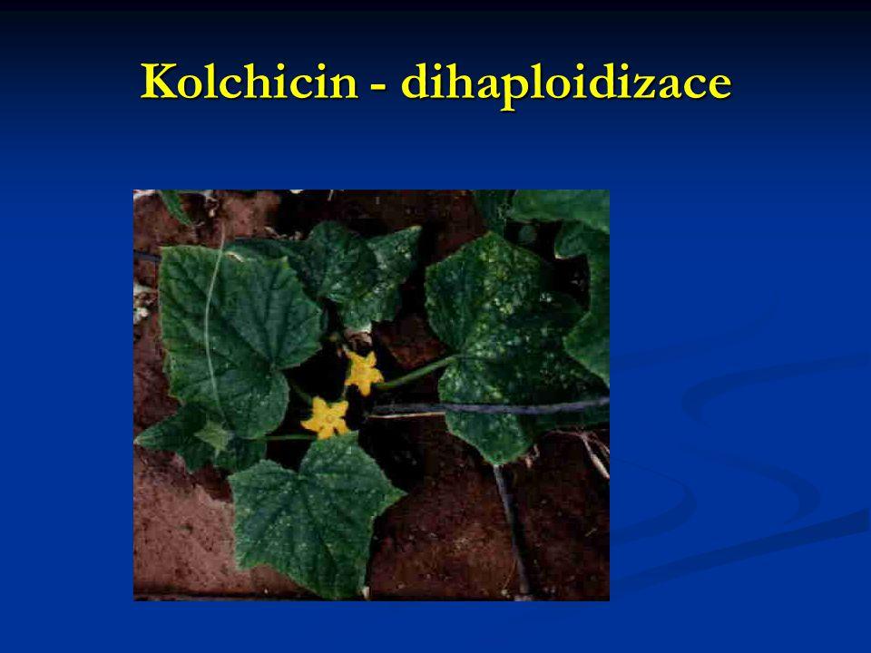 Kolchicin - dihaploidizace