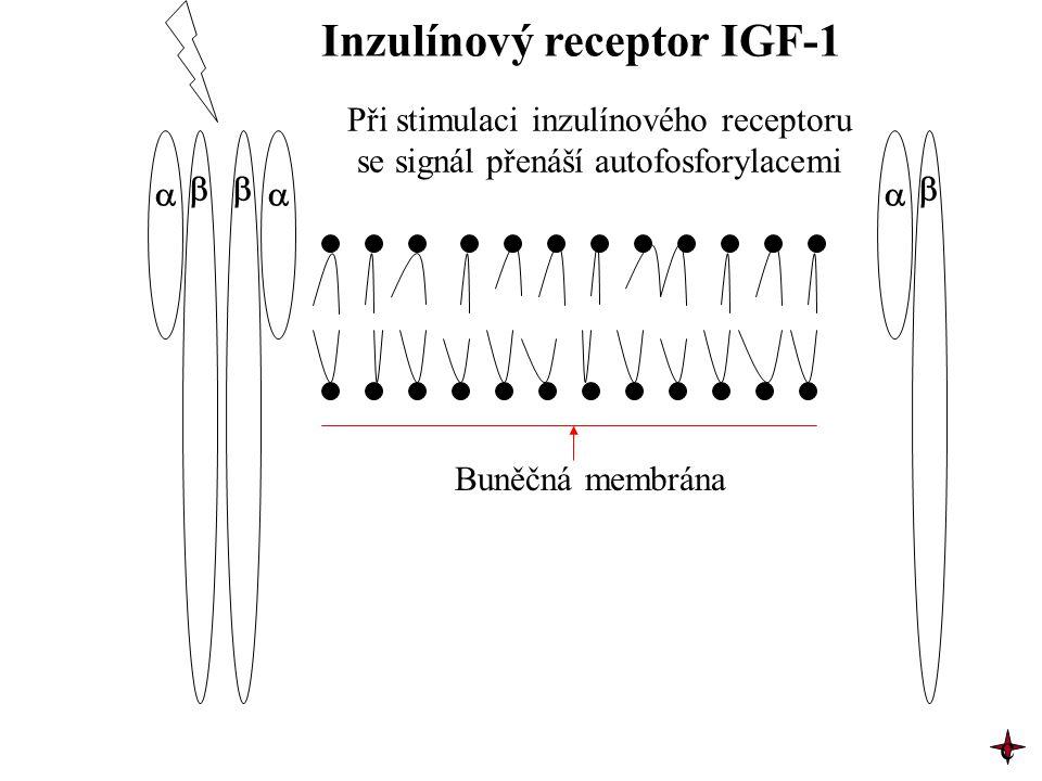 Inzulínový receptor IGF-1