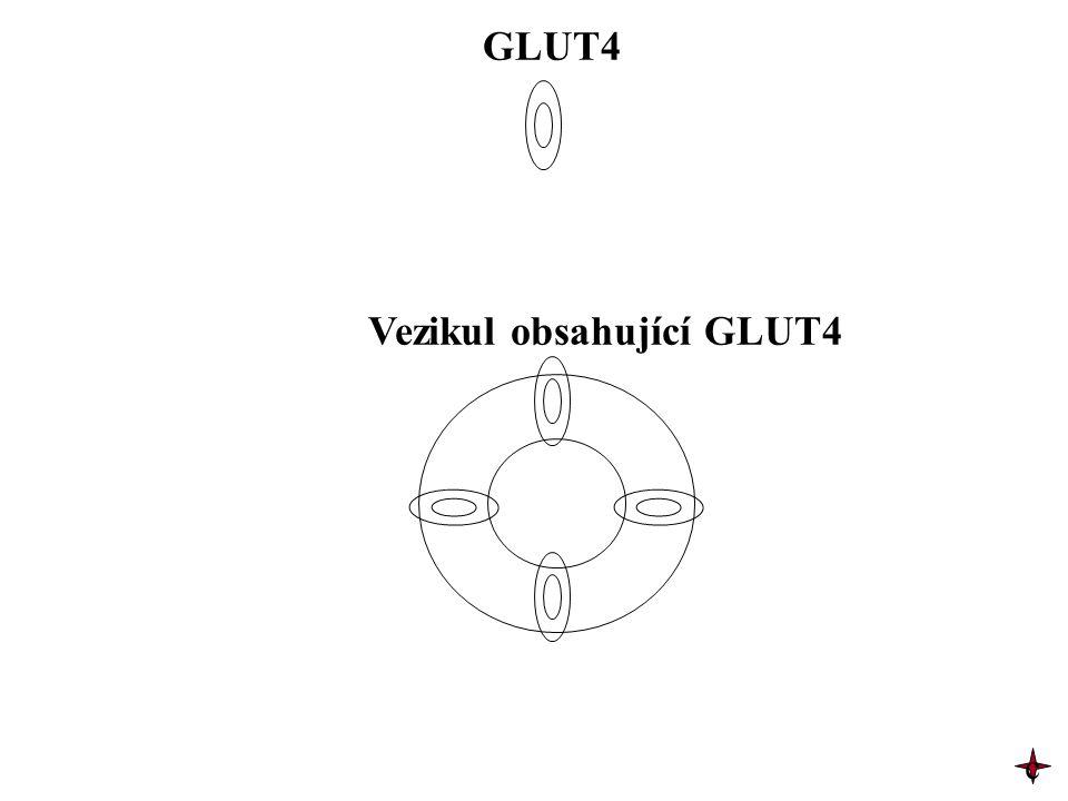 Vezikul obsahující GLUT4