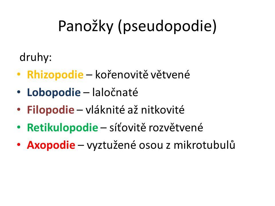 Panožky (pseudopodie)