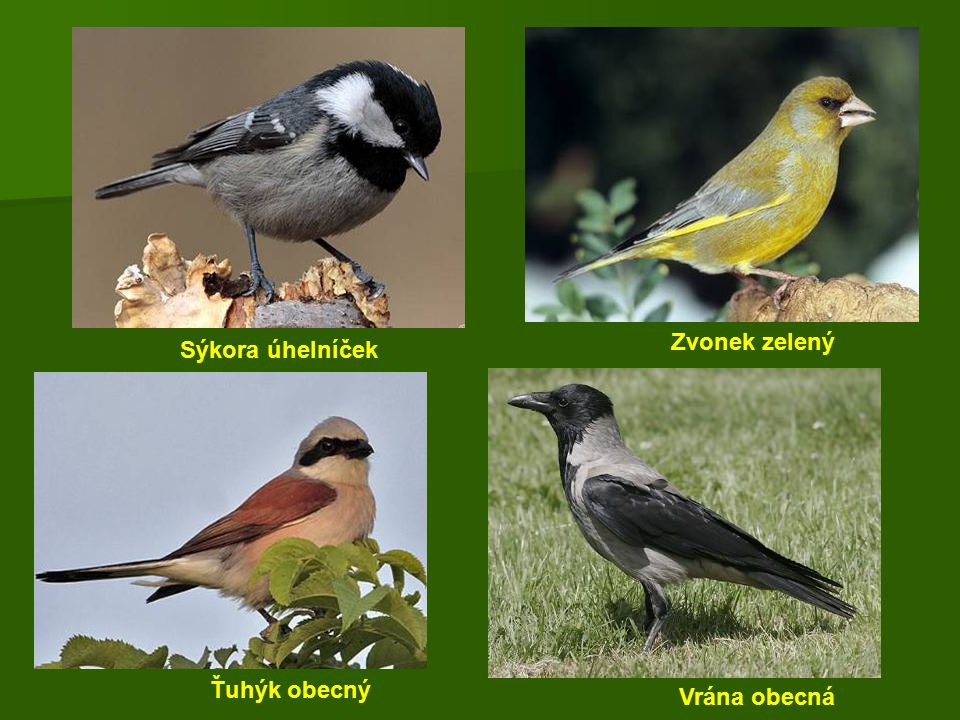 Zvonek zelený Sýkora úhelníček Ťuhýk obecný Vrána obecná