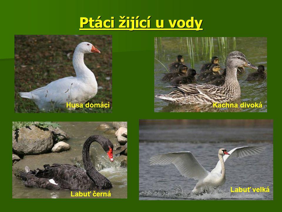 Ptáci žijící u vody Husa domácí Kachna divoká Labuť velká Labuť černá