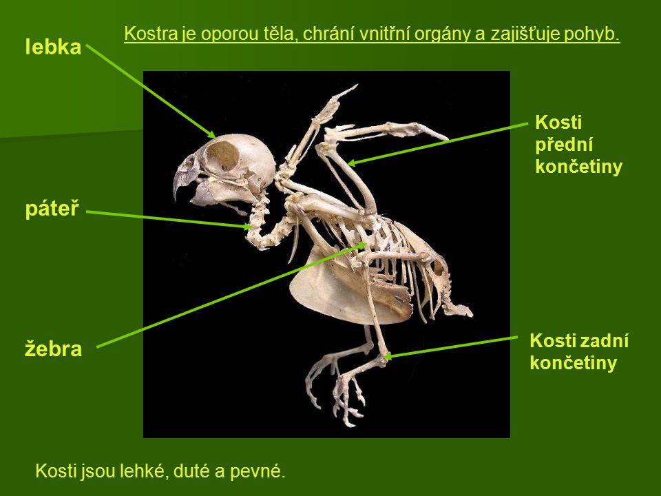 Kostra je oporou těla, chrání vnitřní orgány a zajišťuje pohyb.