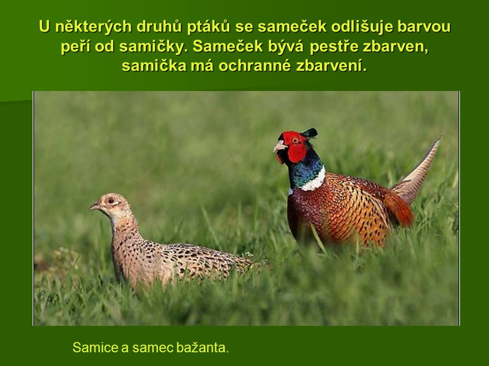 U některých druhů ptáků se sameček odlišuje barvou peří od samičky