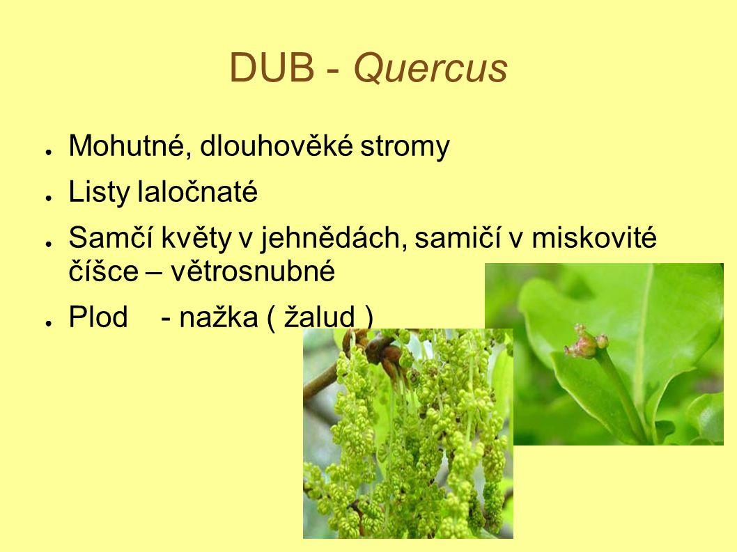 DUB - Quercus Mohutné, dlouhověké stromy Listy laločnaté