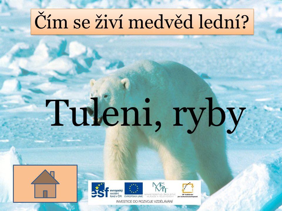 Čím se živí medvěd lední