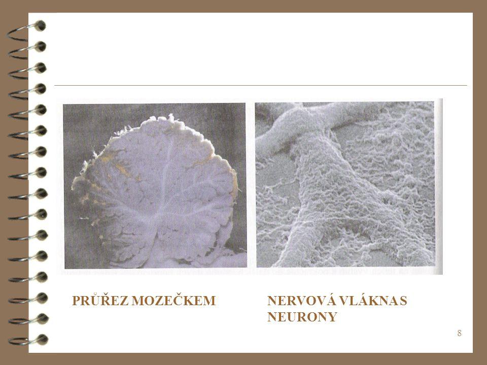 NERVOVÁ VLÁKNA S NEURONY