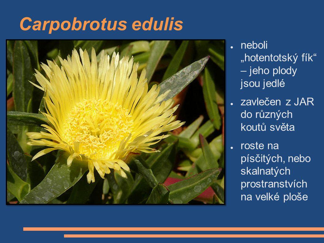 """Carpobrotus edulis neboli """"hotentotský fík – jeho plody jsou jedlé"""