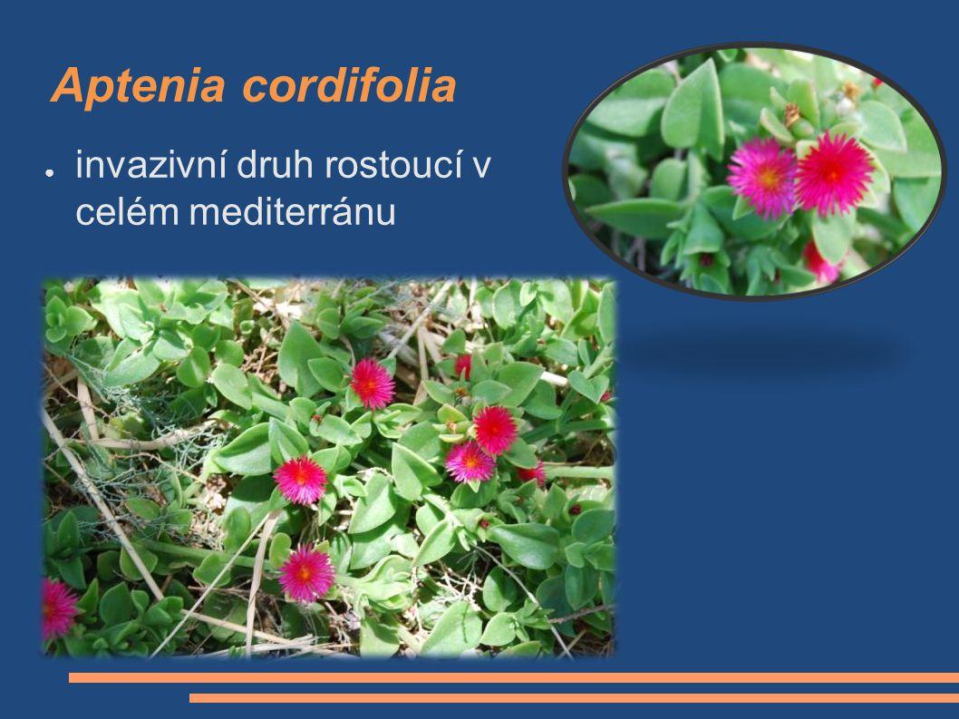 Aptenia cordifolia invazivní druh rostoucí v celém mediterránu