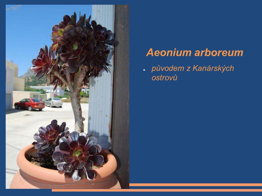Aeonium arboreum původem z Kanárských ostrovů Aeonium arboreum,