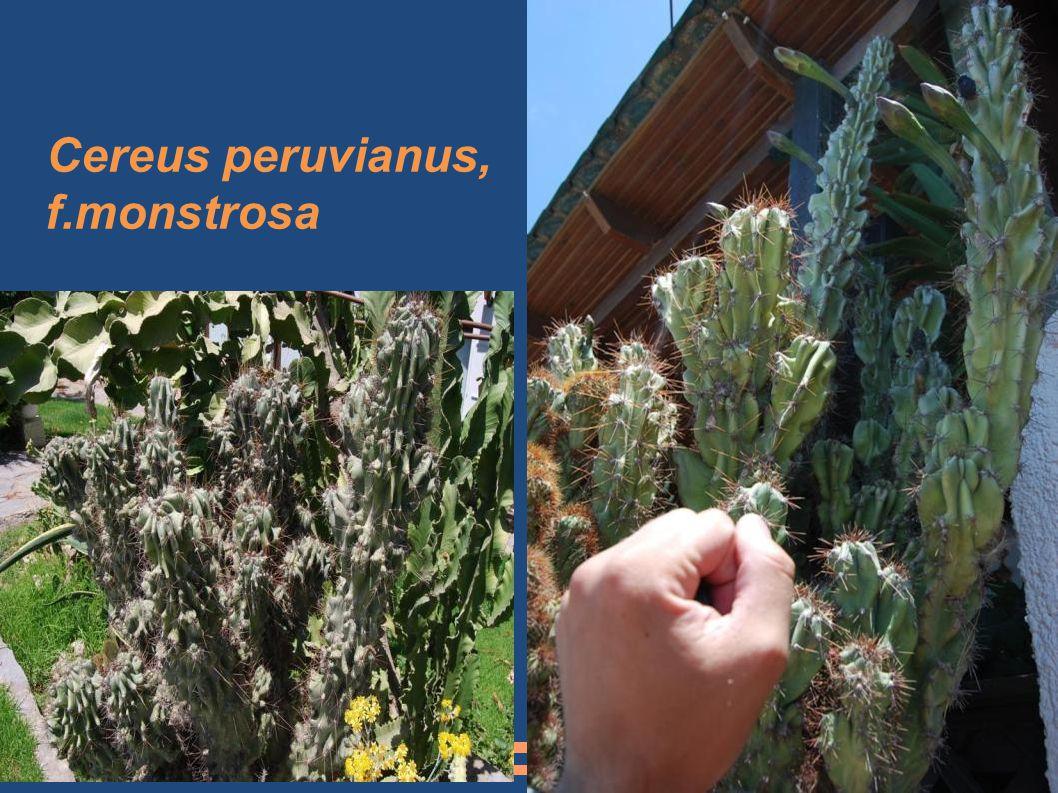 Cereus peruvianus, f.monstrosa