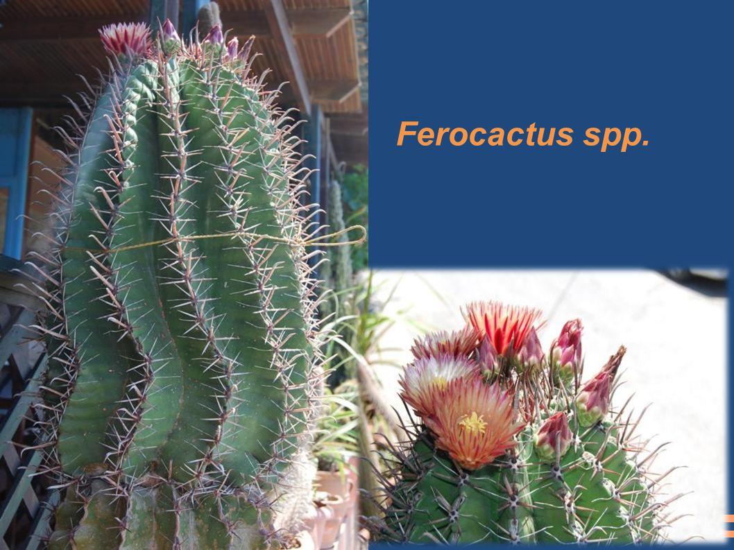 Ferocactus spp.