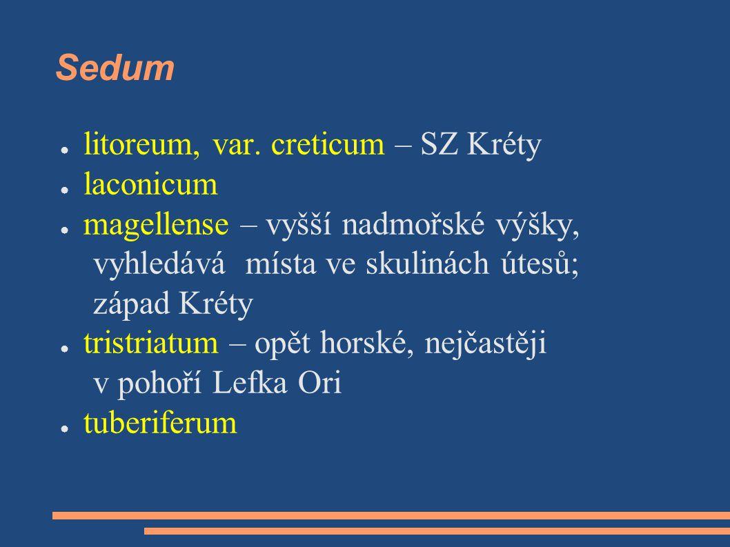 Sedum litoreum, var. creticum – SZ Kréty laconicum