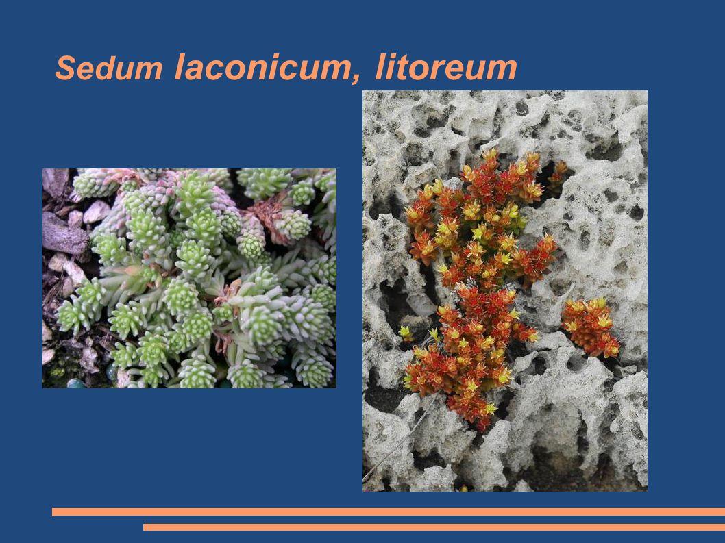 Sedum laconicum, litoreum
