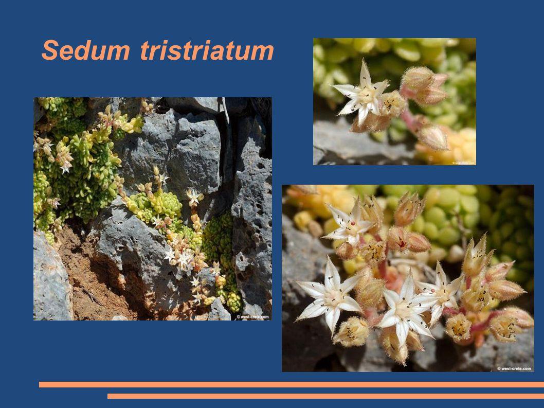 Sedum tristriatum