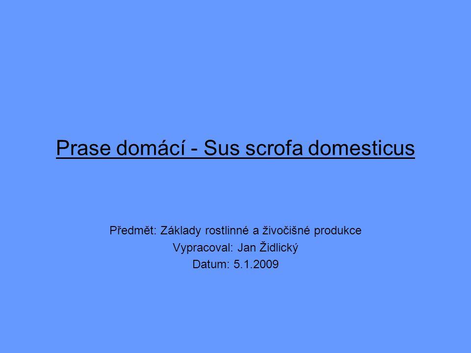 Prase domácí - Sus scrofa domesticus