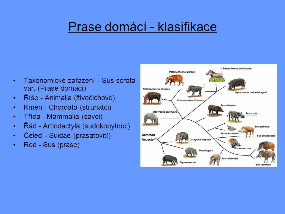 Prase domácí - klasifikace
