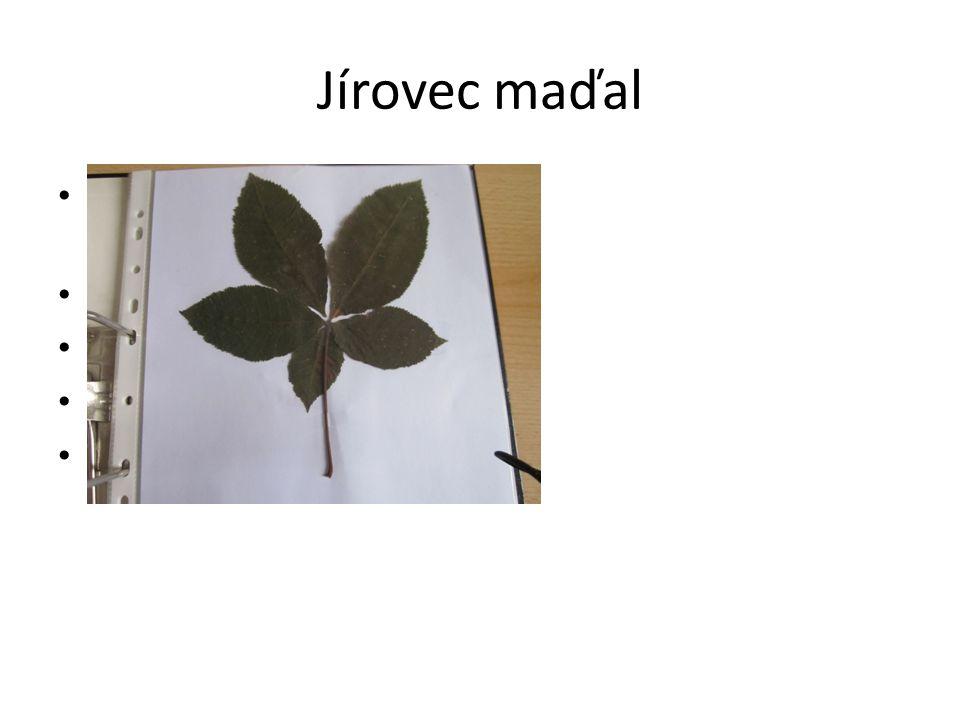 Jírovec maďal Složené dlanité, vstřícné listy Květy- dlouhé laty