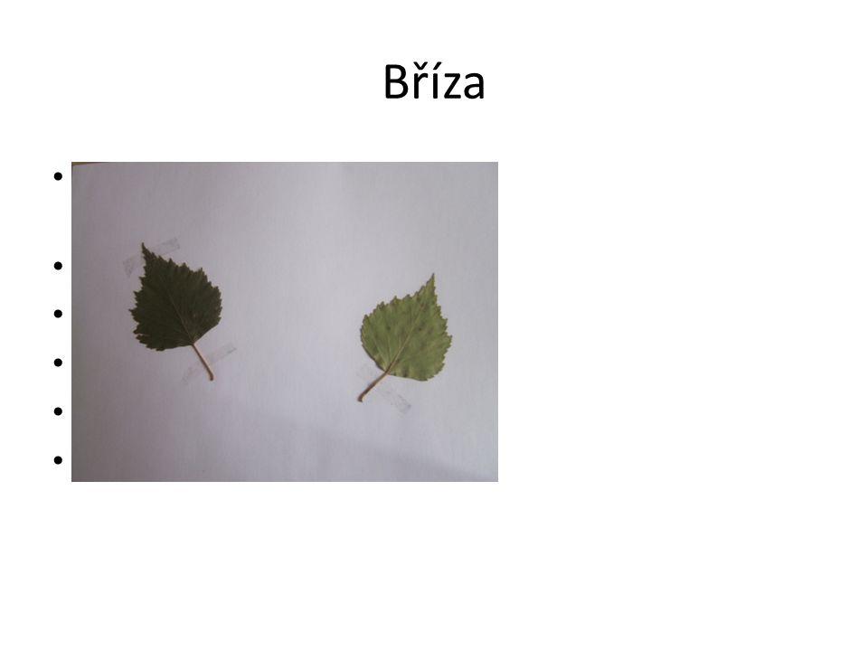Bříza Jednoduché dvojitě pilovité listy(léčivé) Kůra- bělavá