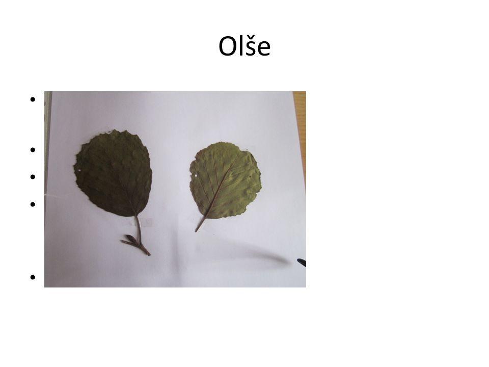 Olše Jednoduché vejčité listy(vykrojená špička) Květy- jehnědy