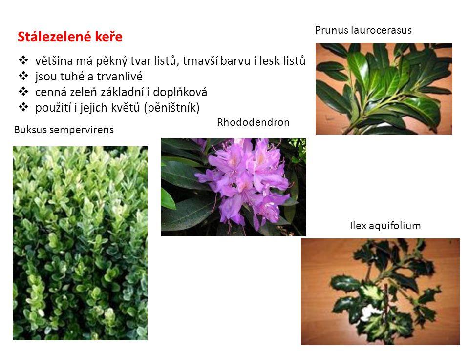 Prunus laurocerasus Stálezelené keře. většina má pěkný tvar listů, tmavší barvu i lesk listů. jsou tuhé a trvanlivé.