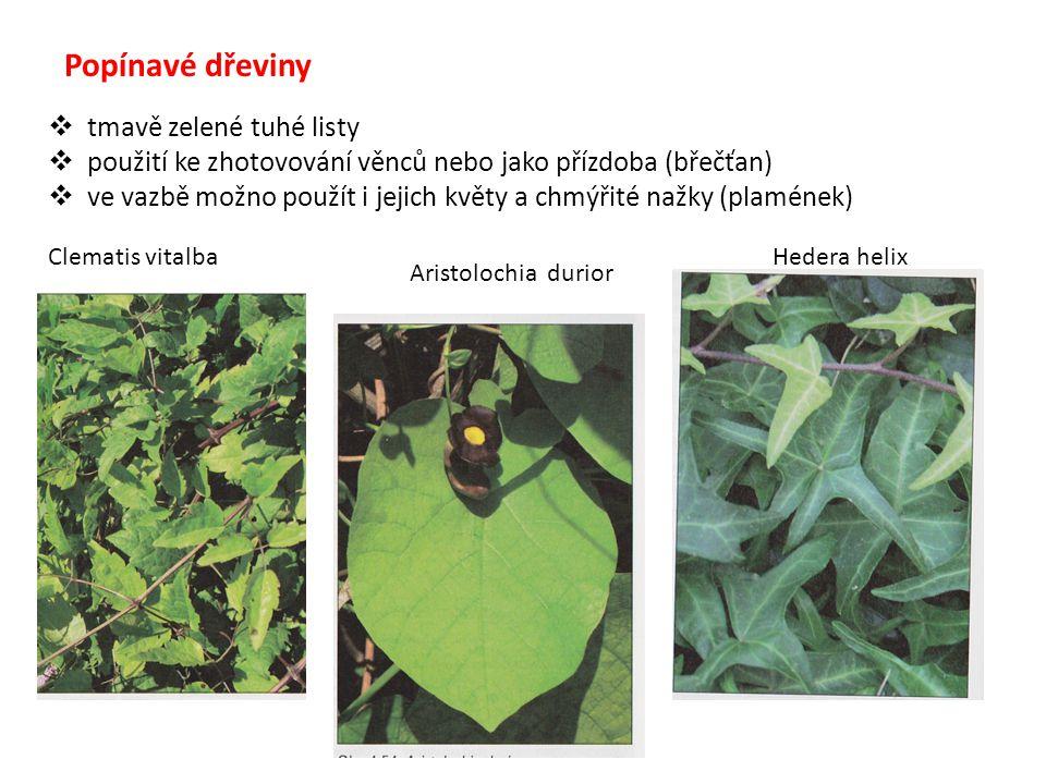 Popínavé dřeviny tmavě zelené tuhé listy