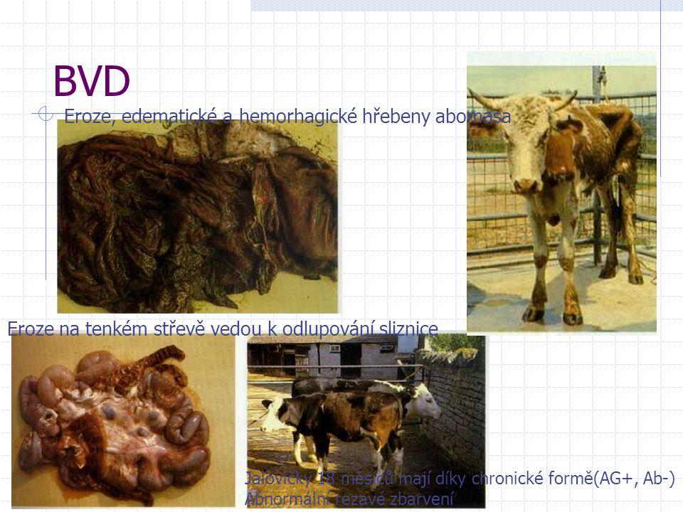 BVD Eroze, edematické a hemorhagické hřebeny abomasa