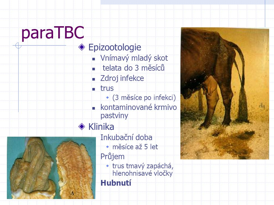 paraTBC Epizootologie Klinika Vnímavý mladý skot telata do 3 měsíců