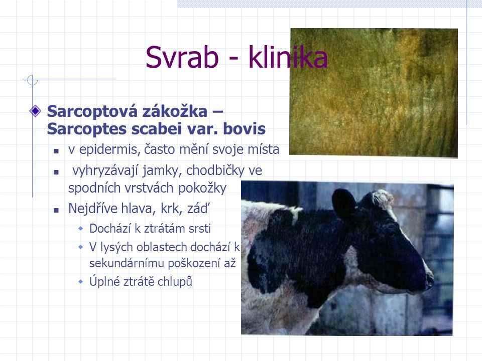 Svrab - klinika Sarcoptová zákožka – Sarcoptes scabei var. bovis