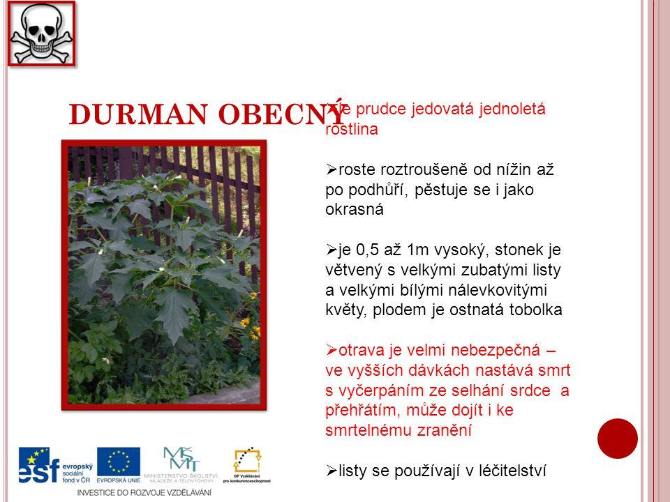 DURMAN OBECNÝ je prudce jedovatá jednoletá rostlina
