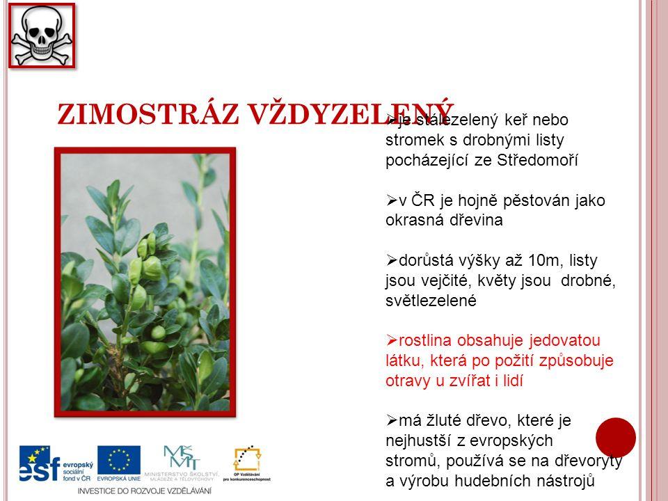 ZIMOSTRÁZ VŽDYZELENÝ je stálezelený keř nebo stromek s drobnými listy pocházející ze Středomoří. v ČR je hojně pěstován jako okrasná dřevina.