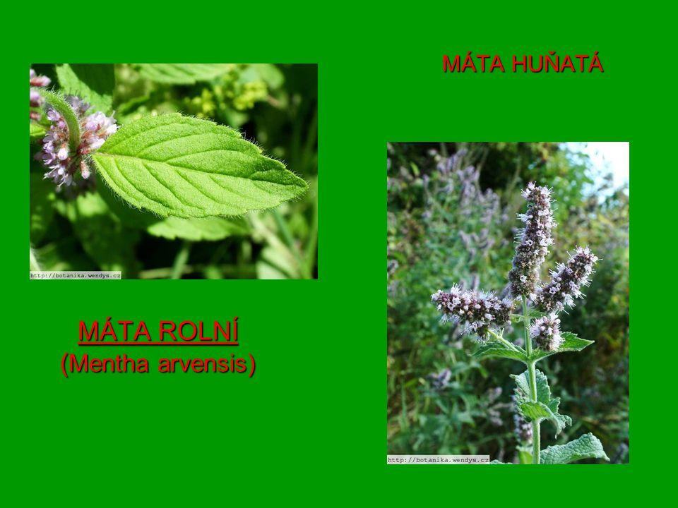 MÁTA ROLNÍ (Mentha arvensis)
