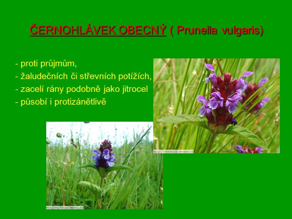 ČERNOHLÁVEK OBECNÝ ( Prunella vulgaris)