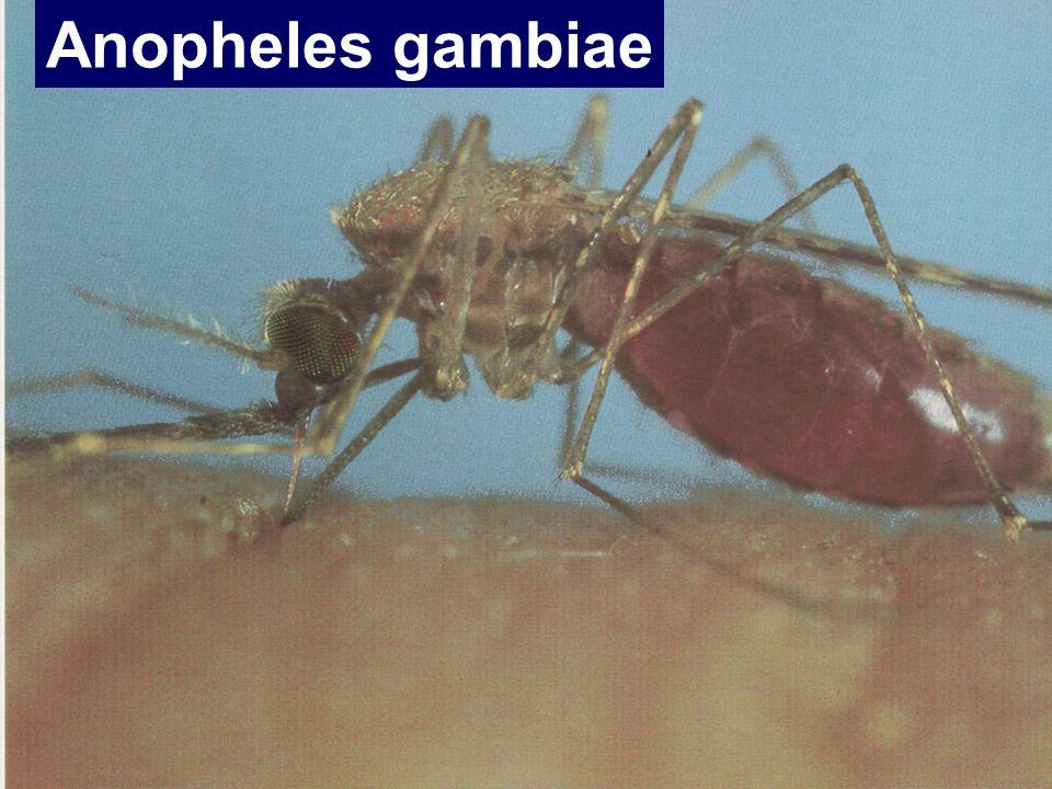 Anopheles gambiae