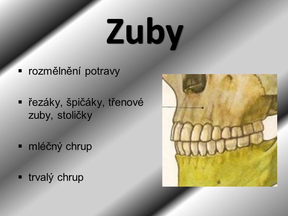 Zuby rozmělnění potravy řezáky, špičáky, třenové zuby, stoličky