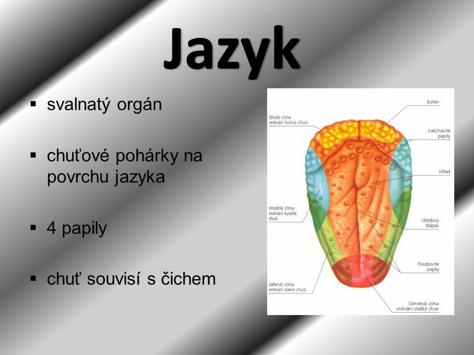 Jazyk svalnatý orgán chuťové pohárky na povrchu jazyka 4 papily