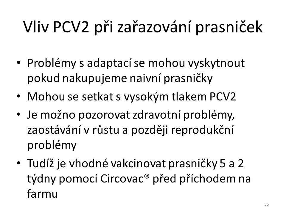 Vliv PCV2 při zařazování prasniček