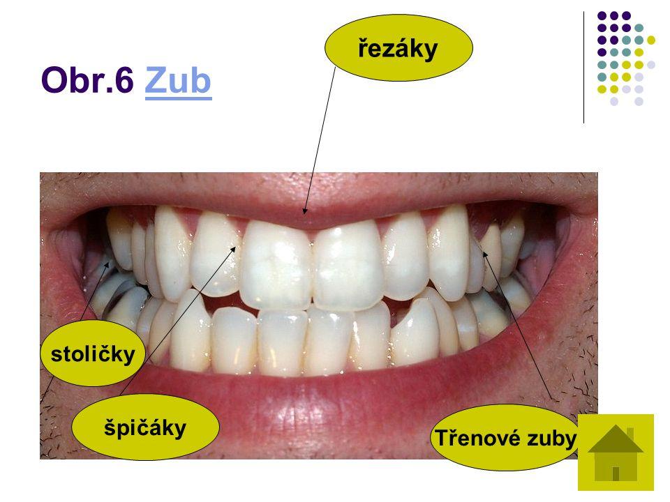 Obr.6 Zub řezáky stoličky špičáky Třenové zuby