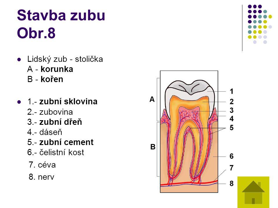 Stavba zubu Obr.8 Lidský zub - stolička A - korunka B - kořen