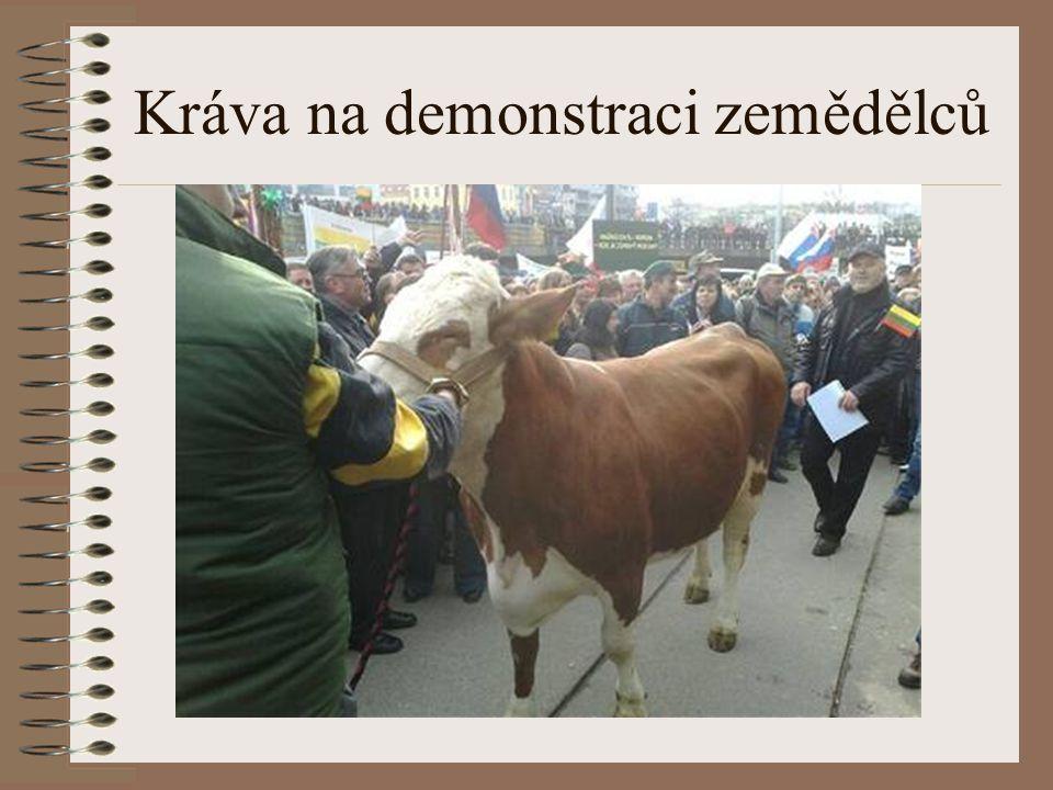 Kráva na demonstraci zemědělců