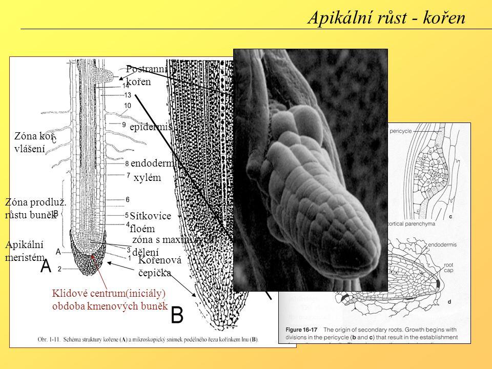 Apikální růst - kořen Postranní kořen epidermis Zóna koř. vlášení