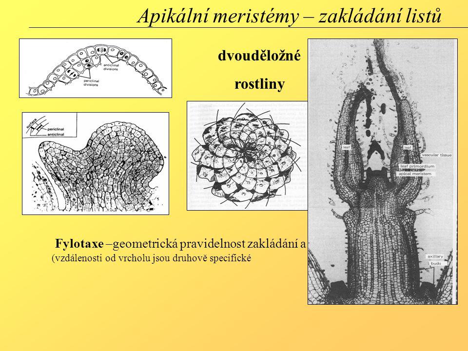 Apikální meristémy – zakládání listů