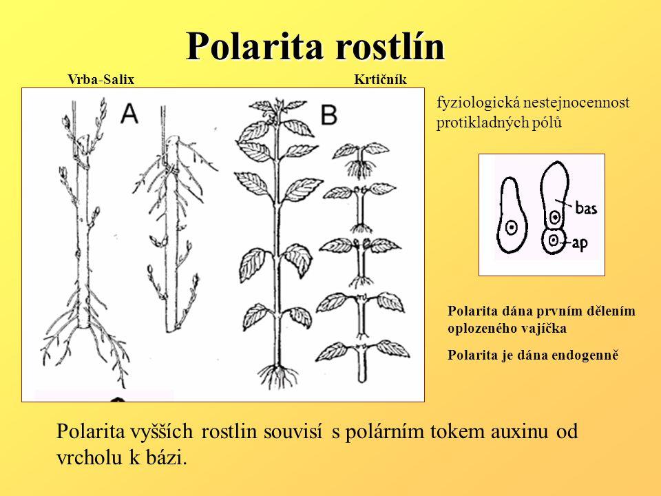 Polarita rostlín Vrba-Salix. Krtičník. fyziologická nestejnocennost protikladných pólů. Polarita dána prvním dělením.