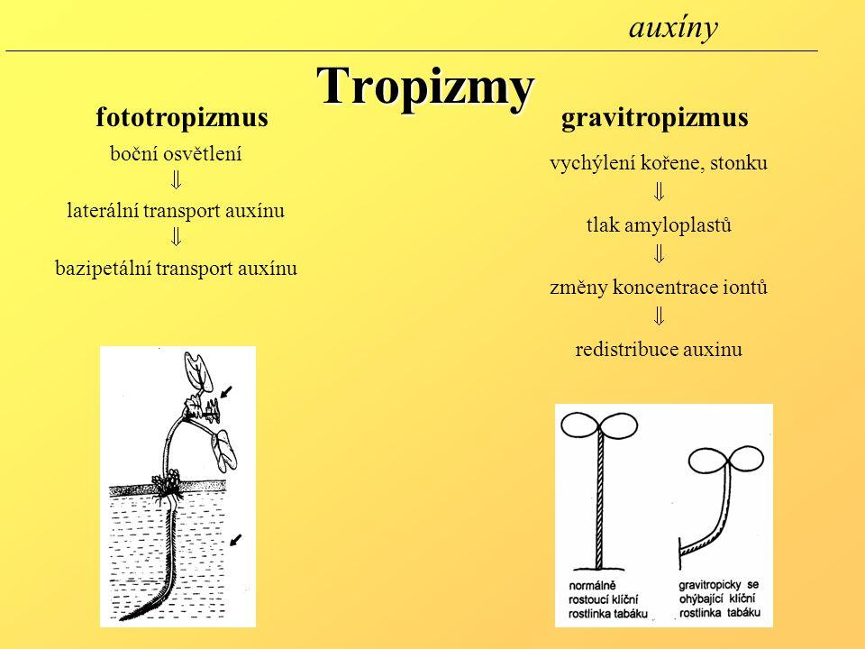 Tropizmy auxíny fototropizmus gravitropizmus boční osvětlení 