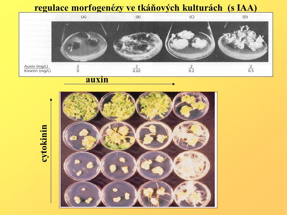 regulace morfogenézy ve tkáňových kulturách (s IAA)