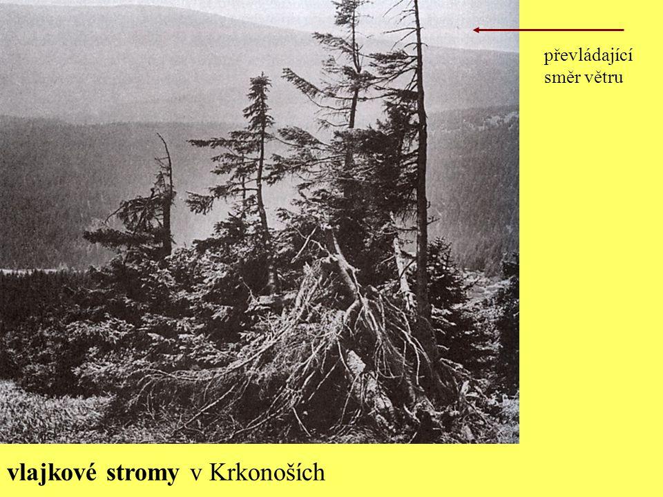 vlajkové stromy v Krkonoších