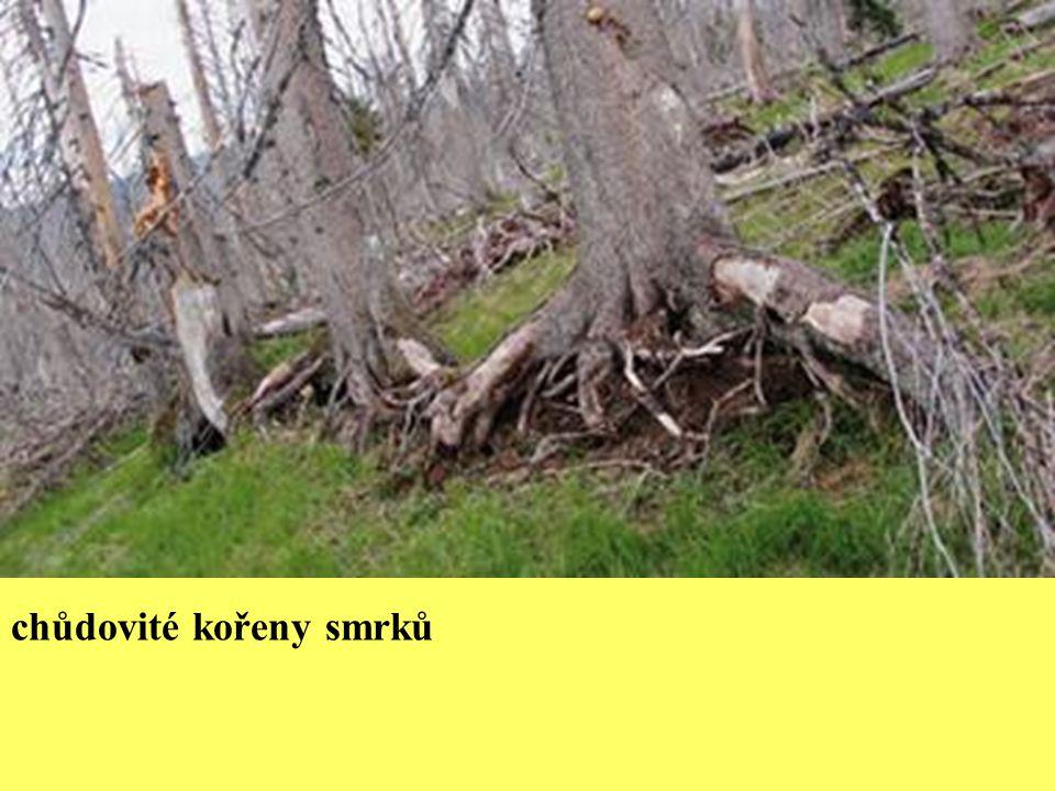 chůdovité kořeny smrků